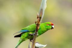 Keith-Davies-Crowned-Parakeet