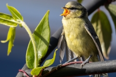 Keith-Davies-Fledgling-blue-tit-begging-for-food.