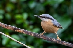 Keith-Davies-Love-a-Nuthatch-Neighbours-front-garden.