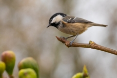 Keith-Davies-My-clearest-shot-of-a-Coal-tit-neighbours-fig-tree.