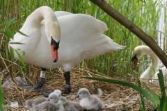 Tonmy-Mottram-Swan-Chicks